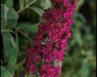 Buddleia davidii Attraction pint plant FREE SHIP