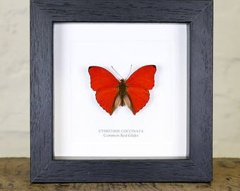 Common Red Glider in Box Frame (Cymothoe coccinata) Real Mounted Butterfly