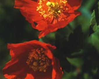 Meconopsis cambrica Frances Perry (Welsh Poppy) - 40 seeds.  Fine variety of Welsh Poppy flowering from May right through to October.