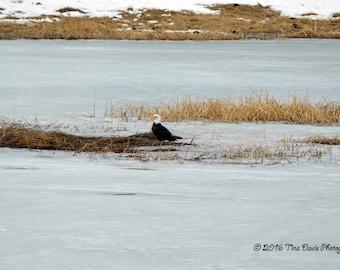 Eagle On Floating Island Lake Greeting Card