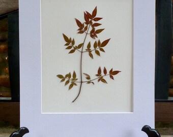 Real Pressed Leaf Botanical Art Herbarium of Nandina Domestica 8x10 OR 11x14