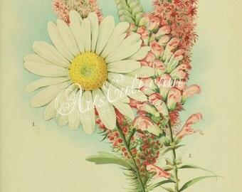 flowers-32253 - chrysanthemum maximum, False Dragon-Head, physostegia virginica, Blazing Star or Gay Feather, liatris pycnostachya image JPG