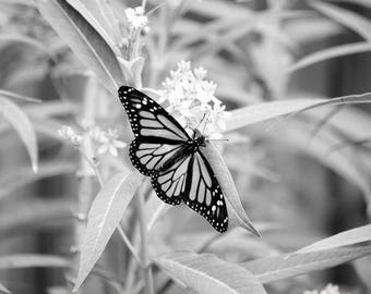 Black and White Monarch Butterfly Photograph