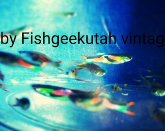 Live fish: Qty 2.  Endler Livebearers Colorful Males. beginner level very Hardy Cute low maintenance community fish for freshwater Aquariums