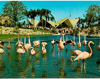 Vintage Florida Postcard - A Flock of Flamingos in the Lagoon at Busch Gardens, Tampa (Unused)
