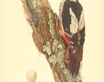1953 Great Spotted Woodpecker - Dendrocopos major Vintage Offset Lithograph
