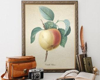 Apple Botanical Print, Calville Blanc Botanical Print, Home Decor, Natural History Botanical, Apple Art, Apple Decorative Reproduction VF007