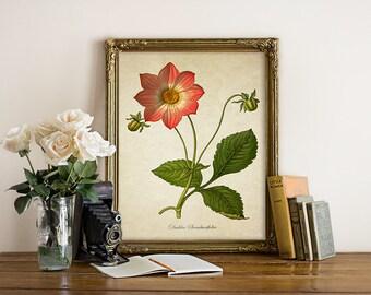 Dahlia Botanical Print, Dahlia Art Print, Dahlia Flower Print, Floral Home Decor, Vintage Natural History Art, Dahlia Art Reproduction FL099