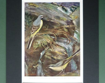 1930s Antique Grey Wagtails Print, Woodland Decor, Old Ornithology Gift for Bird Lover, Allen W Seaby Picture, Available Framed, Nature Art
