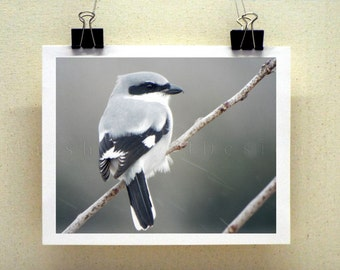 Shrike Bird Photography Print, Nature Photography, Wildlife Photography, Gray Photography, Bird Art, Winter Art, 8x10 11x14 12x16 16x20 inch