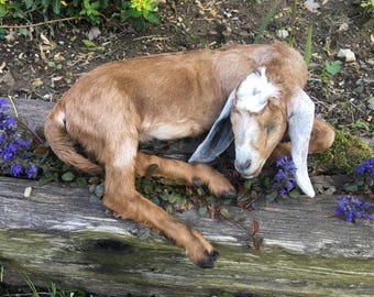 Nubian goat kid (day-old) taxidermy mount