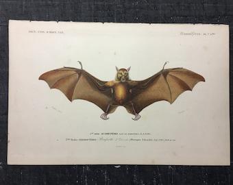 1849 BAT ANTIQUE ENGRAVING original antique print from 1849 - hand colored engraving - cheiroptera vampire bat flying fox fruit bat