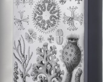Canvas 16x24; Haeckel Hexactinellae