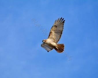 Red tail hawk, Bird Photography, Wildlife Photography, Nature Photography, Wall Decor, Home Decor, Fine Art, Hawk Photograph,