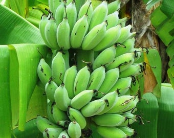 "Banana Plants ""Dwarf Green"" Includes Four (4) Plants"
