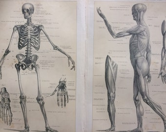 1904 ANATOMY (skeleton & muscles) original antique print - 9.75 x 13 inches - Anatomical decor - science - biology