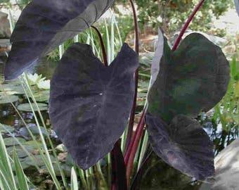 """Black Magic"""" Colocasia, Ornamental Taro - 1 potted Plant, Comb Ship"""