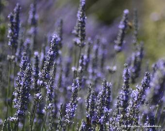 Lavender 10 - Sequim WA