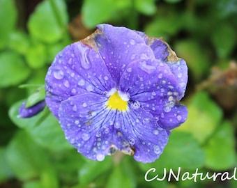 Pansy Photo, Lavender Flower Print, Purple Pansy Art, Spring Garden Photo, Botanical Art, Large Art Print, Flower Close Up, FREE SHIPPING