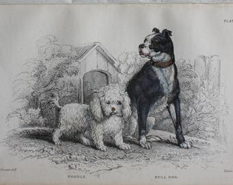 poodle and  bull dog antique engraving 1840