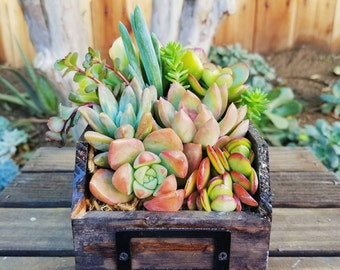 Beautiful Rustic wooden drawer with living succulent arrangement