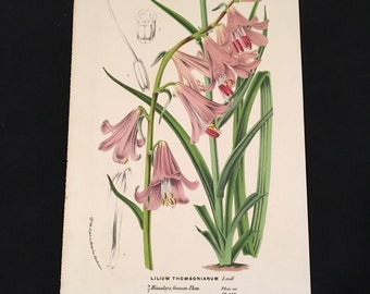 Antique Botanical Print - Lilium Thomsonianum, Original Antique Print for Framing
