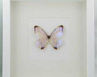 Sulkowski's morpho - Morpho sulkowski ockendeni from Peru - real framed butterfly No. 364