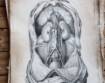 Old antique human body anatomical engraving 1828 36x54cm (Others similar engraving are available)