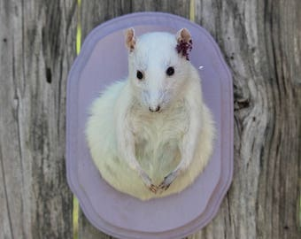Charming Albino Rat Taxidermy Mount