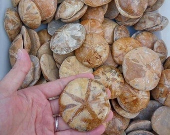 Fossilied Sand Dollars