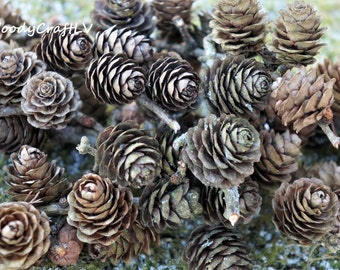 Larch cones, DIY material, decor, decoration material, natural cones, wooden larch cones