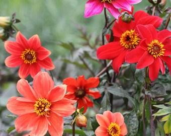 50 Seeds Middle sized Red Dahlia Shrub Perennial Flower Fragrant garden Flower