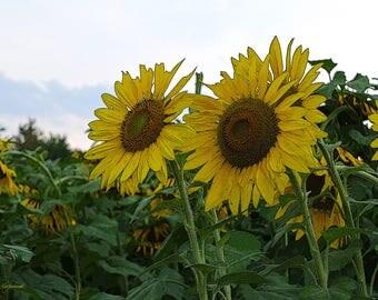 Sunflower Wall Art Print, Sunflower Art Print, Yellow Flower Art Print, Sunflower Fine Art Wall Print, Flower Garden Photogtaphy, #FL 2140