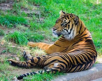 Tiger, Resting Tiger, Tiger Photography, Animal Art, Animal Photography, Wildlife, Big Cat, Stripes, Nature Art