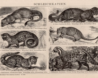 Antique Mammal Lithograph - Antique Animal Print from 1890