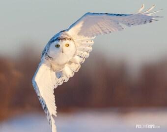 Snowy Owl in Flight - Bird Photography, Fine Art Print, Wildlife Photography, Winter, Owl Photograph, Ottawa Nature Photography