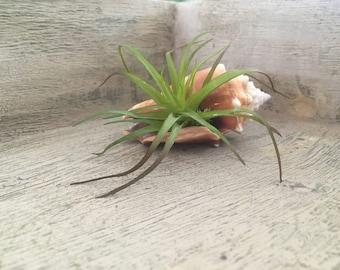 Seashell airplants/seashell succulents/wedding favors/seashell wedding favors/ airplant wedding favors