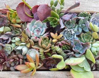 40 assorted succulent cuttings