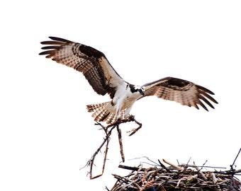 Osprey Builds a Nest