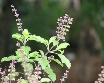 500 Ocimum sanctum Seeds, Tulsi Seeds, Red Holy Basil Seeds