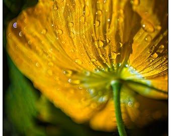 Golden Poppy