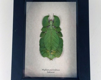 Real insect framed - Phyllium pulchrifolium