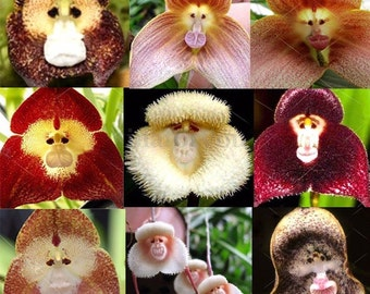 20 Rare Monkey Face Orchid, Organic Seeds