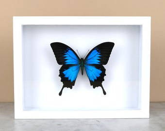 BLUE MOUNTAIN SWALLOWTAIL in black or white frame (Papilio ulysses) - real butterfly