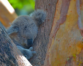 Hugging the Trees - Koala