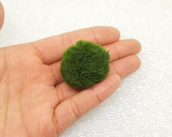 SALE! Large Marimo Moss Ball for Terrarium Planted Tanks Live Aquarium Fish Shrimps