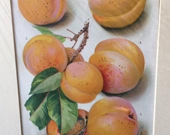 Vintage Botanical Lithograph, Collectible Botanical Lithograph, Botanical Lithograph Apricot, Old Collectible Lithograph, Antique Botanicals