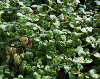 Corsican Mint (Mentha requienii): miniature garden, fairy garden, living plant, dwarf plant