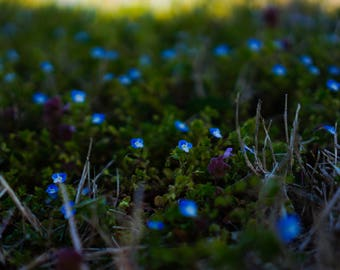 """Forget-Me-Not Flowers In Nature Art Print Entitled """"Blue Lights"""". Wall Decor, Photography"""