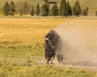 Yellowstone Bison PRINT - Nature Photography, Wildlife Photography
